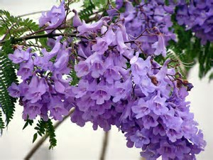 th-jpeg-jacaranda-a