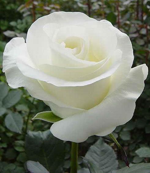 Rose trắng
