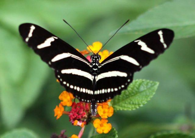 2-768x546.jpg zebra Longwind Butterfly