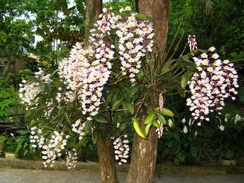hoa lan 11.jpg