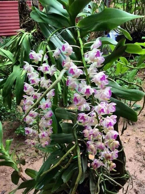 hoa lan 12
