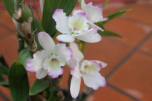 hoa lan 20