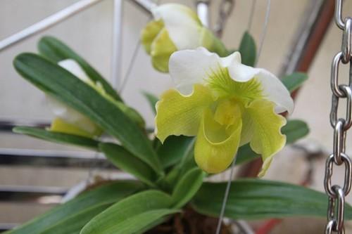 hoa lan 22