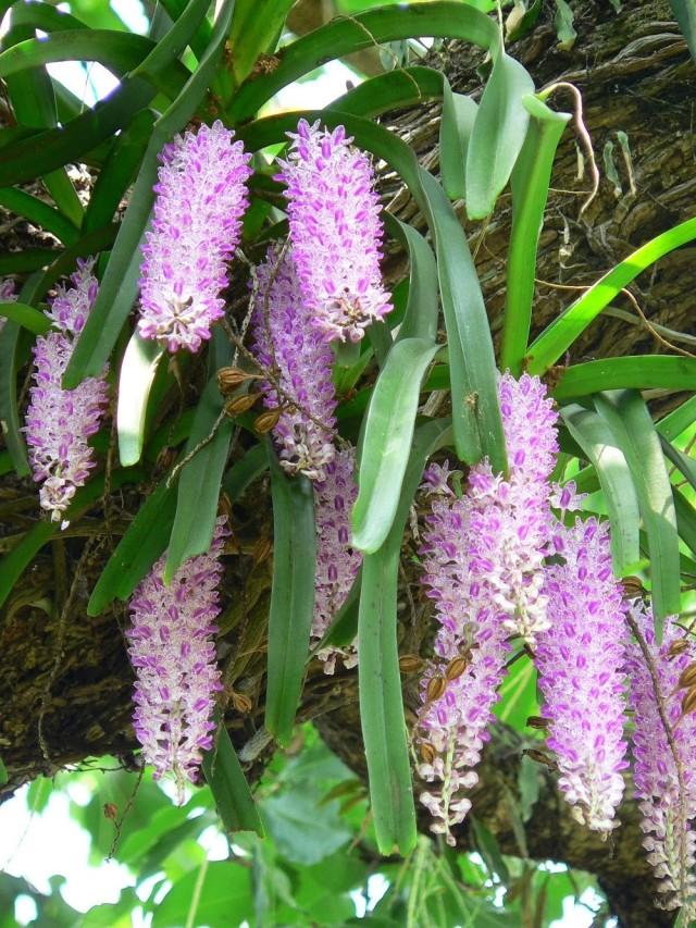 hoa lan 26