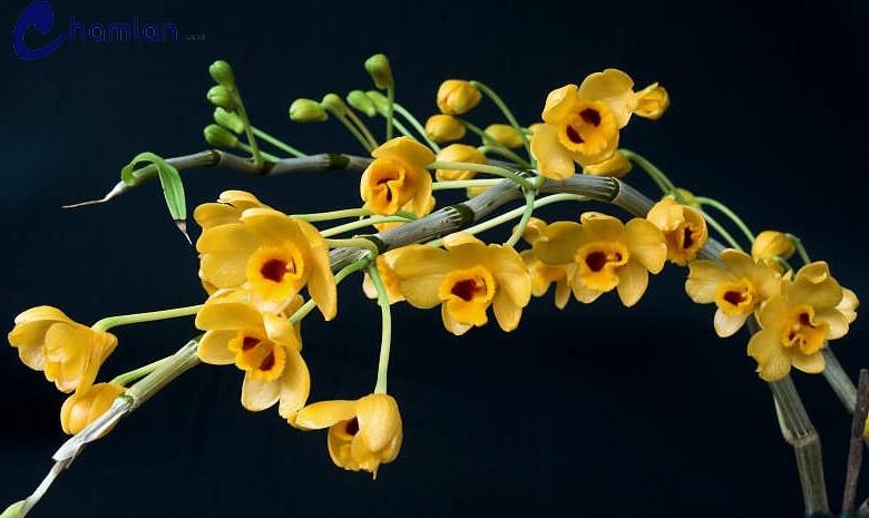 hoa lan 27