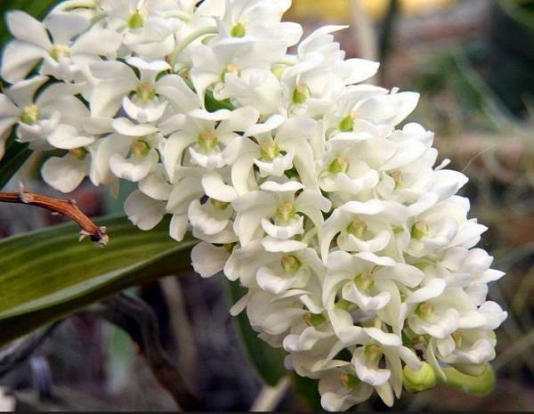 hoa lan 30