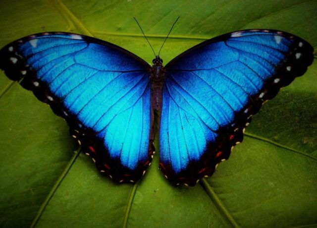 1-768x553.jpg Blue Morpho Butterfly.jpg